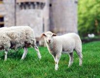Animali da allevamento Pecore di Depasturing Fotografie Stock
