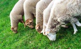 Animali da allevamento Pecore di Depasturing Fotografie Stock Libere da Diritti
