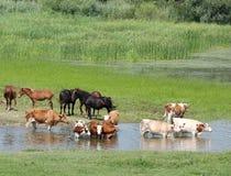 Animali da allevamento sul fiume Fotografia Stock Libera da Diritti