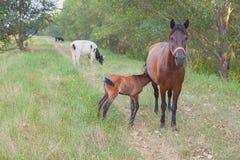 Animali da allevamento sul prato Fotografie Stock Libere da Diritti