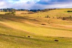 Animali da allevamento sul recinto chiuso Paesaggio di entroterra di agricoltura Immagine Stock