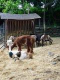 Animali da allevamento tosati in penna all'aperto Immagine Stock Libera da Diritti