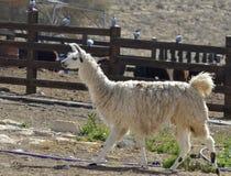 Animali dallo zoccolo fesso domestici dell'alpaca Fotografia Stock Libera da Diritti