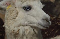 Animali dallo zoccolo fesso domestici dell'alpaca Fotografie Stock