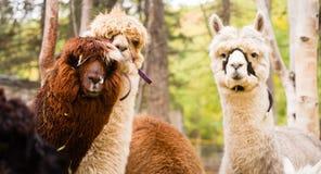 Animali del bestiame dell'azienda agricola del gruppo del lama domestico Fotografie Stock