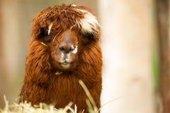 Animali del bestiame dell'azienda agricola del gruppo del lama domestico Immagini Stock