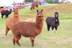 Animali del lama sull'azienda agricola Fotografia Stock Libera da Diritti