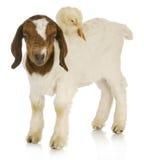 Animali del servizio di baby sitter Fotografia Stock