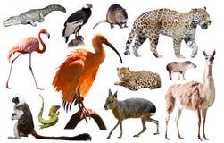 Animali del Sudamerica isolati Immagine Stock Libera da Diritti