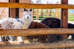 Animali dell'alpaga della lama Fotografia Stock Libera da Diritti