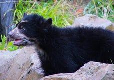 animali dell'orso del bambino Fotografia Stock Libera da Diritti