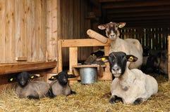 Animali delle pecore Immagini Stock Libere da Diritti