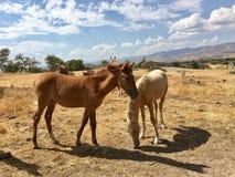Animali di un anno americani selvaggi dei cavalli del mustang Immagini Stock