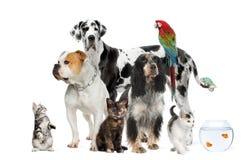 Animali domestici che si levano in piedi davanti alla priorità bassa bianca Fotografia Stock