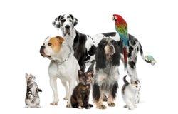 Animali domestici che si levano in piedi davanti alla priorità bassa bianca fotografie stock
