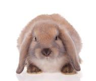 Animali domestici del coniglio Fotografie Stock