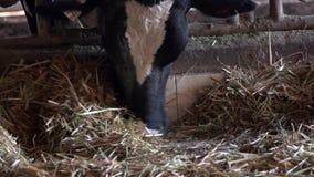 Animali domestici del movimento lento che mangiano fieno in granaio Mucche del bestiame che pascono sull'azienda agricola stock footage