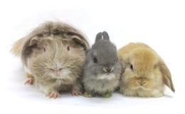 Animali domestici della cavia del coniglio isolati Immagini Stock Libere da Diritti