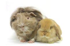 Animali domestici della cavia del coniglio isolati Immagini Stock