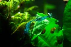Animali domestici di sogno blu di hobby dell'acquario del gamberetto di neocaruidina Fotografia Stock Libera da Diritti