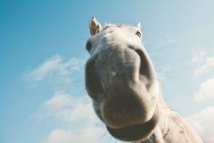 Animali domestici divertenti del selfie del ritratto del cavallo bianco Fotografie Stock