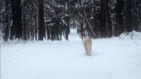 Animali domestici in natura - un bello golden retriever che camminano in una foresta innevata di inverno archivi video