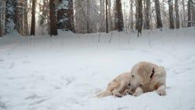Animali domestici in natura - un bello golden retriever si siede in una foresta innevata dell'inverno video d archivio