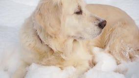 Animali domestici in natura - un bello golden retriever si siede in una foresta innevata dell'inverno archivi video