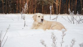 Animali domestici in natura - un bello golden retriever si siede in una foresta innevata dell'inverno stock footage
