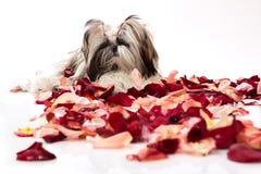 Animali domestici nei petali di rosa. Fotografia Stock Libera da Diritti