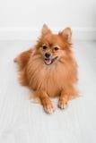 Animali domestici svegli del cane di Pomeranian felici nella casa Immagini Stock