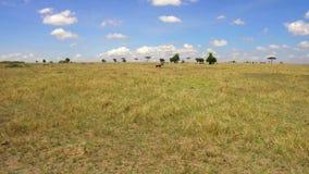 Animali erbivori che pascono nella savanna all'Africa stock footage
