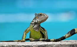 animali, iguana verde Fotografia Stock Libera da Diritti