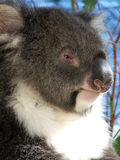Animali - Koala Immagine Stock