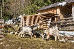 Animali nel cortile Fotografia Stock