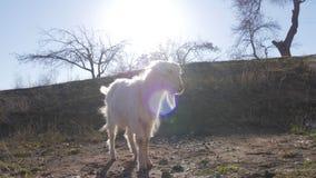 Animali nello zoo, capre fotografie stock