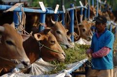 Animali per il sacrificio Fotografia Stock Libera da Diritti
