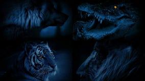 Animali pericolosi con il montaggio d'ardore degli occhi stock footage