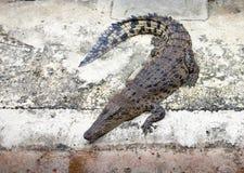 Animali pericolosi dei coccodrilli Immagini Stock Libere da Diritti