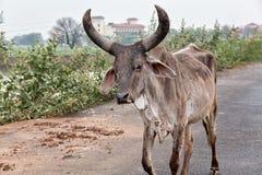Animali sacri India della mucca Immagini Stock Libere da Diritti