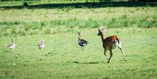 Animali selvatici sfregiati Fotografie Stock Libere da Diritti