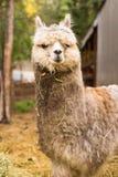Animali soli Alaska del bestiame dell'azienda agricola del lama domestico Fotografie Stock Libere da Diritti