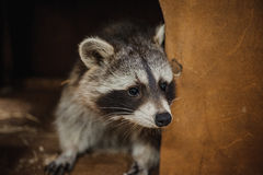 Animali svegli di azione del fronte del procione Fotografia Stock Libera da Diritti
