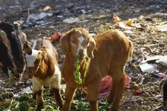 Animali svegli Niente di più sveglio ed innocente poi queste piccole torte Capra fotografia stock