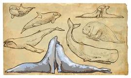 Animali, tema: MAMMIFERI del MARE - pacchetto disegnato a mano di vettore Fotografie Stock