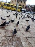 animali, uccelli, piccioni, marciapiedi, automobili, tram, Sarajevo, bih, capitale fotografia stock libera da diritti