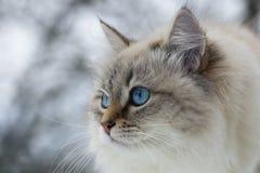 Animalisti Bello gatto siberiano come animale domestico domestico immagine stock