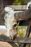 Animall-Wasser-Stier-Scull mit Hörnern, Komodo Lizenzfreie Stockfotografie