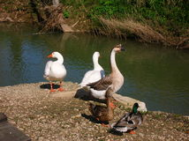 Animals 004. Perspective of a few ducks by the lake Royalty Free Stock Photo