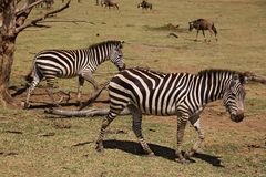 Animals 006 zebra. Manyara lake Stock Photography